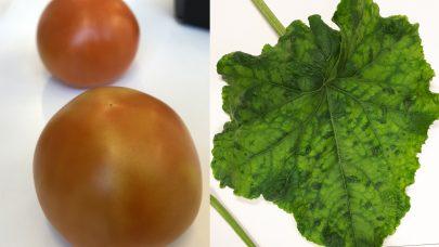 Angrep av pepinomosaikkvirus i tomat og agurkgronnmosaikkvirus i agurk ASE 2020