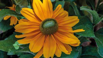 Rudbeckia hirta 'Amarillo Gold' - Foto FleuroSelect