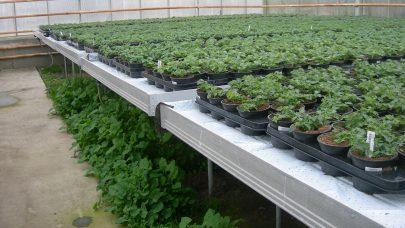 Ugraset vokser fritt, hvis det ikke lukes regelmessig. Foto: Annichen Smith Eriksen