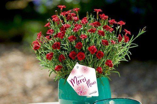 Dianthus merci fleuri