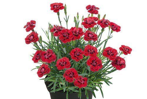 Dianthus merci fleuri1