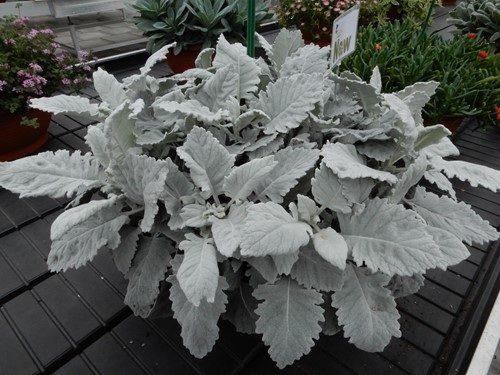 Senecio silvery velvet