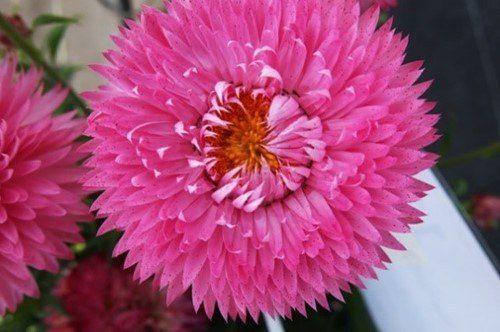 Xerochrysum granvia pink flame