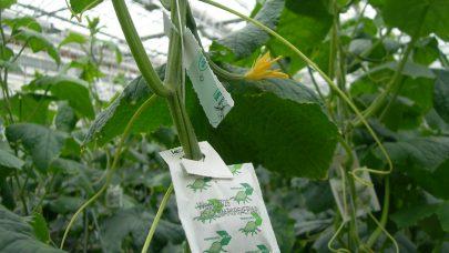 Poser med rovmidd og kort med snylteveps er hengt opp i agurkene Foto Annichen Smith Eriksen
