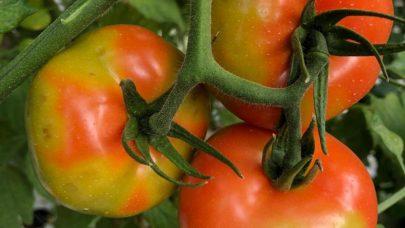 Tomatbrunflekkvirus Foto Salvatore Davino EPPO