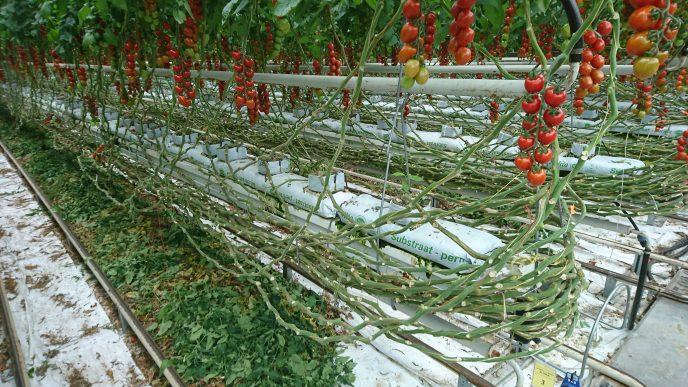 Tomatproduksjon Tyskland Neurather Gartneri 2 Foto Magne Berland
