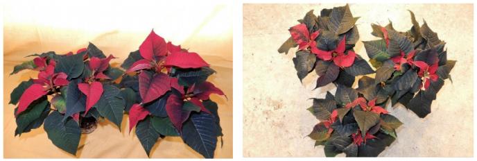 Utvikling av plantene ved registrering av rotutvikling Gartneri 2 til venstre gartneri 1 til hogre